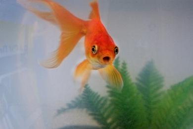 Goldfish Attention Span: Overused Marketing Statistic
